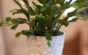 photo of indoor plant you can use to have better indoor air quality in your home