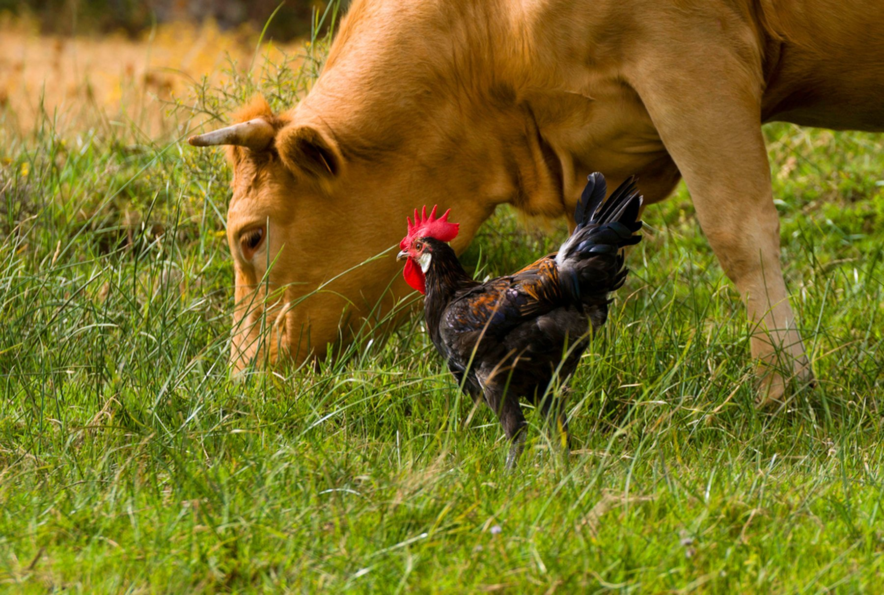 photo of grass-fed pasture-raised cow and chicken grazing